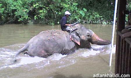 gajah-kuala-gandah-pahang1.jpg